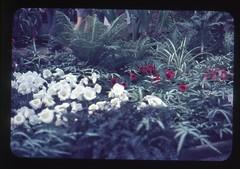 . (Kaïopai°) Tags: vintage 1960er 1960s hannover garten park berggarten herrenhausen botanischergarten botanicgarden plant flower pflanze