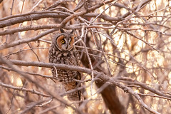 Long Eared Owl (davidswaschnig) Tags: cherrycreekstatepark sunset raptor bird outside outdoor wildlife colorado longearedowl