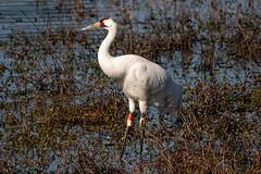 Whooping Crane (jonwhitaker74) Tags: nikond500 birds wildlife whooping crane tamron