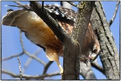 A Mammal for lunch (RKop) Tags: sharonwoods cincinnati raphaelkopanphotography d500 600mmf4evr 14xtciii handheld