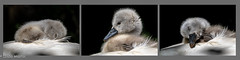 Sssshhhh - babies sleeping (Linda Martin Photography) Tags: bird cygnet abbotsburyswannery uk tryptych swan sleeping