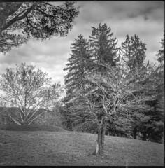 late autumn tree forms, Black Mountain Golf Club, Black Mountain, NC, Ricohflex Dia M, Kodak Tri-X 400, HC-110 developer, 11.16.19 (steve aimone) Tags: trees treeforms autumn lateautumn blackmountaingolfclub blackmountain northcarolina ricoh ricohflex ricohflexdiam tlr twinlensreflex kodaktrix400 hc110developer blackandwhite monochrome monochromatic mediumformat 120 120film film analog landscape