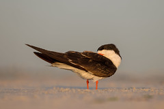 Skimmer (ayres_leigh) Tags: skimmer seabird nature animal bird nickerson beach newyork longisland wheresmyicetea canon wildlife colony morning ny