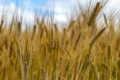 CDC Bow Barley (Bracus Triticum) Tags: cdc bow barley アルバータ州 alberta canada カナダ 8月 八月 葉月 hachigatsu hazuki leafmonth 2019 reiwa summer august