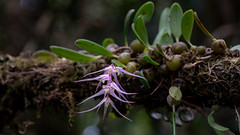 Bulbophyllum amoenum (Polylepis) Tags: bulbophyllumamoenum ranamofananationalpark madagascar orchid orchidaceae epiphyte