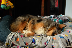 Passed Out (flashfix) Tags: november172019 2019inphotos flashfix flashfixphotography ottawa ontario canada nikond7100 40mm sock dog canine animal pet austrailanshepherd triaustrailanshepherd bluemerle tricolour heterochromia familytime portrait bed lazy