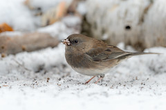 Dark-eyed Junco-44512.jpg (Mully410 * Images) Tags: bird birds birding backyard birder birdwatching