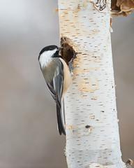 Black-capped Chickadee-44513.jpg (Mully410 * Images) Tags: bird chickadee birding birdwatching birder birds backyard blackcappedchickadee