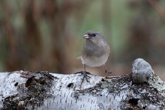 Dark-eyed Junco-44546.jpg (Mully410 * Images) Tags: bird birdwatching birding darkeyedjunco birder birds backyard junco