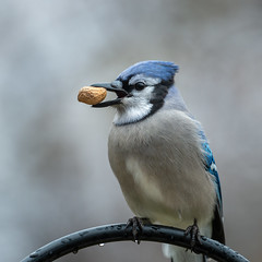 Blue Jay-44592.jpg (Mully410 * Images) Tags: peanut birding feeder backyard bird birds birdwatching rain birder bluejay