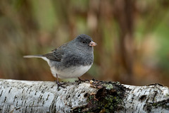 Dark-eyed Junco-44622.jpg (Mully410 * Images) Tags: bird birds birding backyard birder birdwatching
