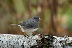 Dark-eyed Junco-44623.jpg (Mully410 * Images) Tags: bird birds birding backyard birder birdwatching