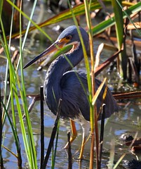 Tricolored Heron, adult non-breeding (Egretta tricolor) (Joyce Waterman) Tags: tricolored heron egrets tricolor rodeo lagoon marin county birds