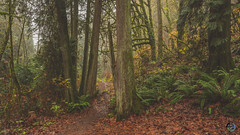 A fairy-tale like forest 2019 (TheArtOfPhotographyByLouisRuth) Tags: mist fog tree woods ferns 00dennypark artofimages nikond810 flickraward flickrawards nature trees washingtonparks nationalgeographicsworldwide photopro nikon24mmf18 nikonprimelens mystical path outdoor autumncomesbutonceayear mistymysteriousandbeautiful sellyourart sellmyphotos sell dennypark oodennyparktrail trails transcenddépassezsupere lighting ambience wet dreary dennycreekpark oodennycreekpark dennycreektrailhead stunning best art