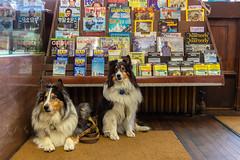 Waiting While We Shop (Explored) (Rick Derevan) Tags: pets montana bookstore livingston sheltie shetlandsheepdog shetlandsheepdogs saxfryer shelties herdingdog