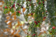 you YEW you! (tonguedevil) Tags: outdoor outside countryside autumn nature woodland trees yew berries green red bokeh rain raindrops colour light shadows