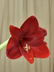 Vaureal-2019 / Time lapse (Rolumix-) Tags: amarilys lumixg7 fleur flower dmcg7panasonic
