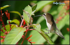1, 2 step. (evelyng23) Tags: redlands florida usa archilochuscolubris colibri rubythroatedhummingbird nature wildlife hummingbird female hummer feeding inflight avian pentaxk3 aficionados sigma 300mmf28 420mm 14xtc birding