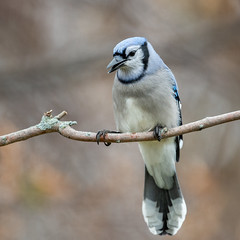 Blue Jay-44566.jpg (Mully410 * Images) Tags: bird birds birding backyard birder birdwatching