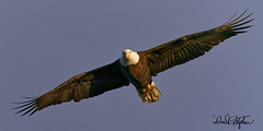 Well. Hello! (dcstep) Tags: eagle baldeagle beach birdinflight bif cherrycreekstatepark colorado usa allrightsreserved copyright2019davidcstephens dxophotolab evening flying fly dsc6739dxo eyecontact