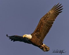 Bald Eagle Flies Near (dcstep) Tags: eagle baldeagle beach birdinflight bif cherrycreekstatepark colorado usa allrightsreserved copyright2019davidcstephens dxophotolab evening flying fly dsc6758dxo