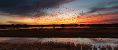 Snow Geese Flyout | Bosque del Apache NM (sunrisesoup) Tags: snow geese sunrise bosque del apache nm birds nature sandhillcranes