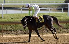 "2019-11-14 (21) r3 Trevor McCarthy on #4 The Quantico Kid for the win (JimFleenor) Tags: photos photography md maryland marylandracing marylandhorseracing equine jockey جُوكِي ""赛马骑师"" jinete ""競馬騎手"" dżokej jocheu คนขี่ม้าแข่ง jóquei žokej kilparatsastaja rennreiter fantino ""경마 기수"" жокей jokey người horses thoroughbreds equestrian cheval cavalo cavallo cavall caballo pferd paard perd hevonen hest hestur cal kon konj beygir capall ceffyl cuddy yarraman faras alogo soos kuda uma pfeerd koin حصان кон 马 häst άλογο סוס घोड़ा 馬 koń лошадь outside outdoors"