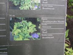 Plant information (Detail) TR - 398 Royal Brunfelsia (d.kevan) Tags: plants arganzuelahothouse madrid zonatropical1 description photos origin species commonname family