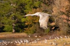 Sandhill Crane (jonwhitaker74) Tags: birds wildlife sandhill crane nikon d500 tamron
