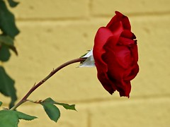 Climbing Don Juan Dark Red Rose 🌹Against Yellow Wall (Chic Bee) Tags: climbing donjuan darkredrose yellowwall background poolside tucson arizona northamerica americansouthwest southwesternusa canonpowershotsx70hs