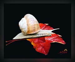 _MG_1210 Snail from our Garden (SØS'Art) Tags: autumn colorful leaf snail solveigøsterøschrøder art artistic photoshop filterforge nature digitalart photomanipulation