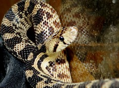 """Alfie"" (EcoSnake) Tags: alfie greatbasingophersnake pituophiscateniferdeserticola snakes reptiles rescues"