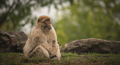 Lost in thoughts. (Alex-de-Haas) Tags: 300mm adobelightroom d850 dierenrijk dutch europa europe holland nederland nederlands netherlands nikkor nikon nikond850 noordbrabant nuenen aap aapje aapjes animal animalia animals ape apen apes beautiful beauty crabeatingmacaque creature dier dieren dierenpark dierentuin fauna garden javaaap krabbenetendemakaak leven life longtailedmacaque makaak mammal monkey monkeys mooi nature natuur park primaat primate schoonheid summer wild wildlife zomer zoo zoogdier zoologicalgarden helmond northbrabant