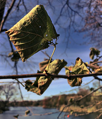 Fall Leaves on Tree in Prospect Park (Alexander H.M. Cascone [insta @cascones]) Tags: usa nyc newyorkcity newyork ny city brooklyn nature flora natural plant tree flower prospect park prospectpark plg leaf leaves fall weather sky blue old weathered sunny day daytime foliage cold
