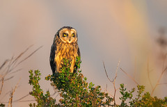 Short-eared owl (Thy Photography) Tags: wildlife animal nature outdoor backyard california bird sunrise sunset dawn dusk sunshine thyphotography shortearedowl haywardregionalshoreline raptor raptors birdofprey owl prey photography fe600mmf4gmoss sonya9ii