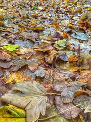 Mye løv -|- Plenty leafs (erlingsi) Tags: løv leaf bergen plenty mye many autumn fullframe fullyfilled