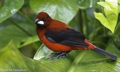 1-LIFER: La Crimson-backed tanager - Ramphocelus dimidiatus es la tángara que más me ha impactado de todas las tángaras que han visto mis ojos hasta hoy.TENIA QUE SER EN ARALCAL!! (Cimarrón Mayor 17,000.000. VISITAS GRACIAS) Tags: ordenpasseriformes familiathraupidae géneroramphocelus sangredetoroencendido asomaterciopelo tángaradorsirroja tochepicodeplata cardenalpicodeplata nombrecientíficoramphocelusdimidiatus nombreinglescrimsonbackedtanager lugardecapturaaralcal tinamúbirding manizales caldas colombia ave vogel bird oiseau paxaro fugl pássaro птица fågel uccello pták vták txori lintu aderyn éan madár cimarrónmayor panta pantaleón josémiguelpantaleón objetivo500mm telefoto700mm 7dmarkii canoneos canoneos7dmarkii naturaleza libertad libertee libre free fauna dominicano pájaro montañas