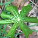 Podophyllum peltatum (mayapple) (Newark, Ohio, USA) 2