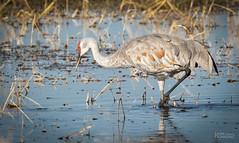 Lesser Sandhill Crane (Grus canadensis canadensis) (Don Dunning) Tags: birds california canon7dmarkii canonef100400mmisiiusm crane gruscanadensiscanadensis lesssersandhillcrane merced mercednwr nationalwildliferefuge sandhillcrane water