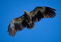 Palmiste africain (pguiraud) Tags: palmiste africain gypohierax angolensis sergeguiraud bijagos archipel des oiseaux rapaces birds vautour afrique dafrique de louest guinéebissau