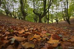 Otzarreta... (cienfuegos84) Tags: gorbea otzarreta hojas caminodehojas hayedo otoño