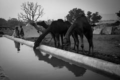 FARE-3 (rohanaggarwal6) Tags: pushkar fair culture rajasthan colours peace india love faith portaits camels camel mela