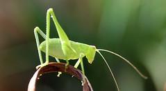 my little mate (imagism2019) Tags: grasshopper closeup