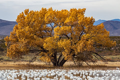 Tree and Geese (Zabooey) Tags: bosquedelapache newmexico fallcolors snowgeese autumn