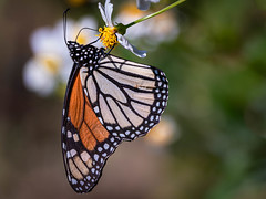 MOVING TO MEXICO (photogtom43) Tags: nikond5500 monarch flowers outdoor daylight nature sigma150600lens butterfly