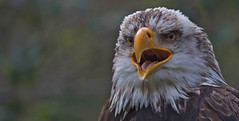 Bald eagle (pe_ha45) Tags: haliaeetusleucocephalus baldeagle weiskopfseeadler falknerei fauconnerie falconry pygargueàtêteblanche
