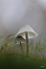 à l'abri... (mars-chri) Tags: champignons duo abri protégeons nous blanc mousse forêt feuille valdoise
