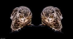 A Pair of the Same (Ken Mickel) Tags: animal animals arizona artisticeffects birds fineart kenmickelphotography owl wildlife zoo bird mirrorimage nature photography williams unitedstatesofamerica