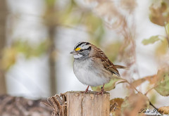 Bruant à gorge blanche - White-throated Sparrow (Lucie.Pepin1) Tags: oiseaux birds bruant sparrow nature wildlife faune fauna luciepepin canon7dmarkii canon300mml