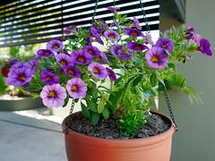P1110082 (1) (nzboyinoz) Tags: flowers colour garden sunny australia mermaidwaters goldcoast queensland panasoniclumixdmctz110 justinvickers justinrvickersgmailcom
